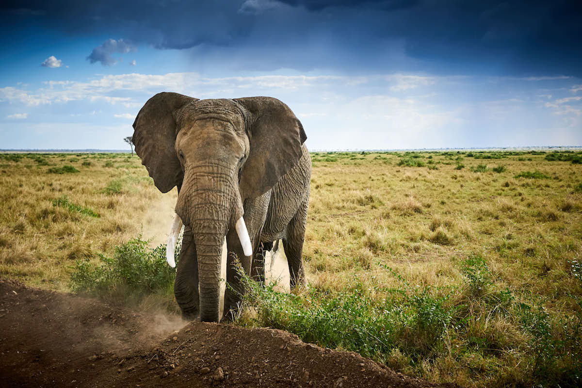 Elephant in the Masaai Mara