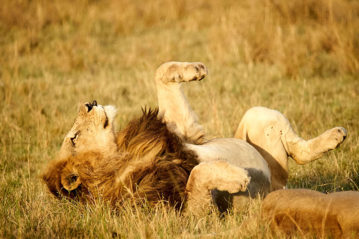 A lion stretches in the Masaai Mara